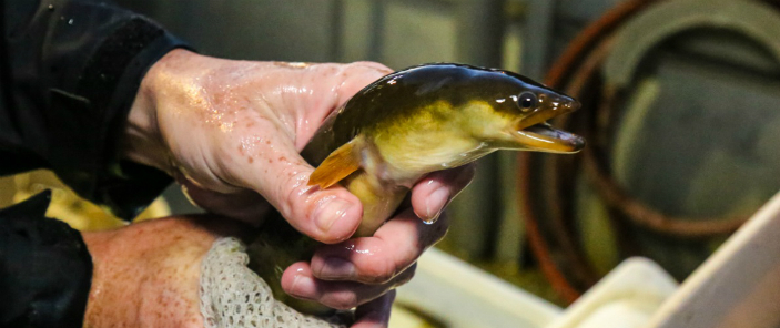 A member of TRCA's environmental monitoring team holds an American Eel, member of an endangered species