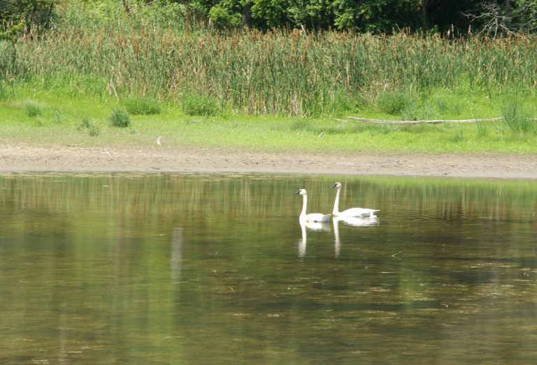 2 swans in the water