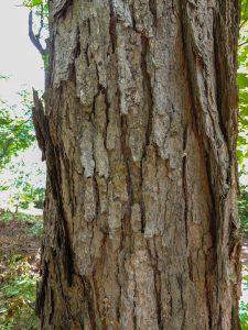 Altona Forest Hike: Tree Bark and Buds @ Altona Forest Parking   Pickering   Ontario   Canada