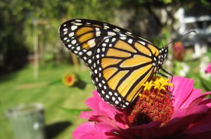 Teaching & Learning with Monarch Butterflies - Curriculum Activities @ Windsor | Ontario | Canada