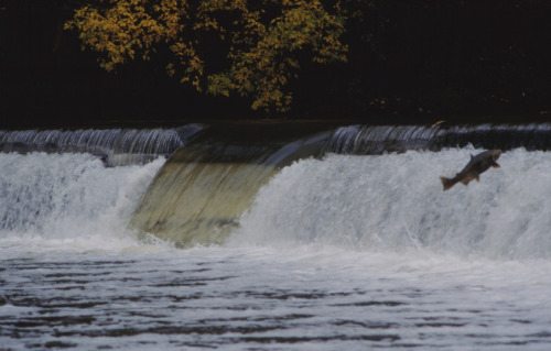 Chinook salmon during a salmon run in the Humber River.