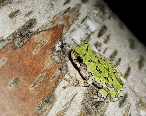 Altona Forest Frogs @ Pickering   Ontario   Canada
