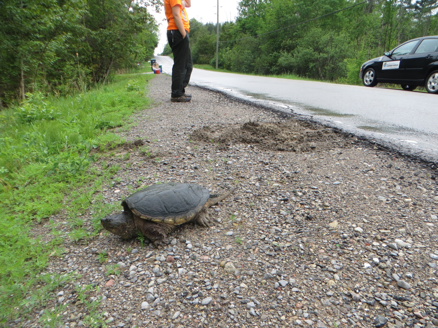 snapping turtle is an example of local flora and fauna in TRCA watersheds