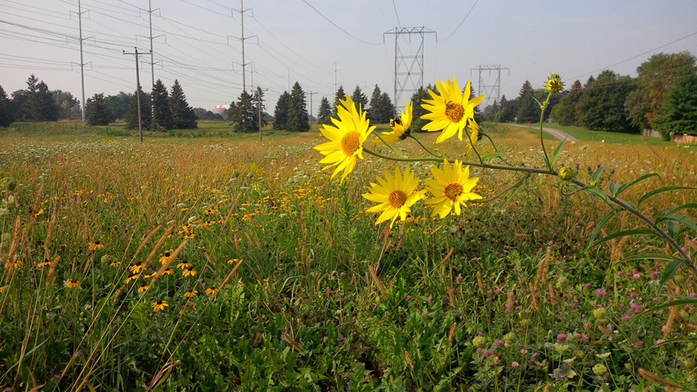 Tall Sunflower and Black Eyed Susan in hydro corridor meadow