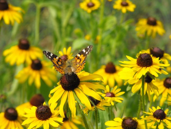 Painted Lady butterfly sitting on a black-eyed Susan wildflower