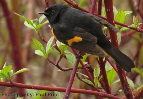 an American redstart perched on a branch