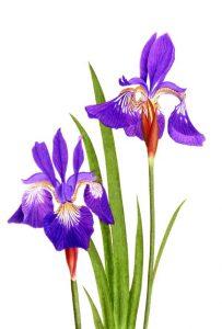 Leslie Staple painting of Irises