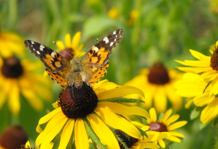 butterfly perches on black eyed susan