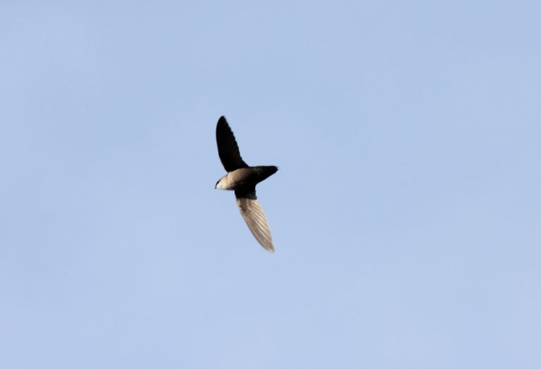 Chimney Swift bird