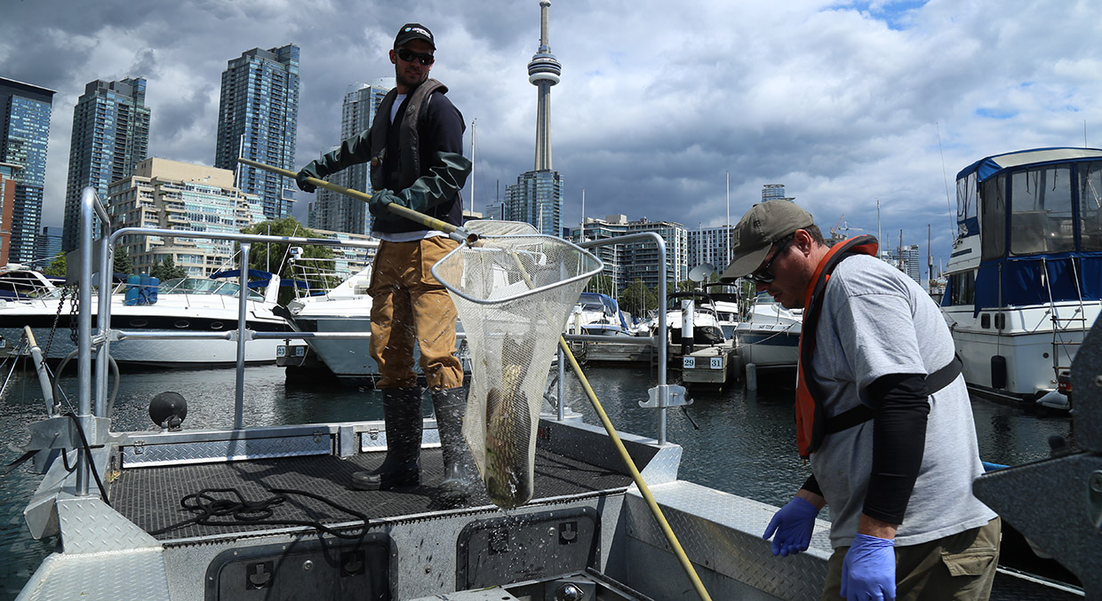 TRCA monitoring staff conduct acoustic telemetry study