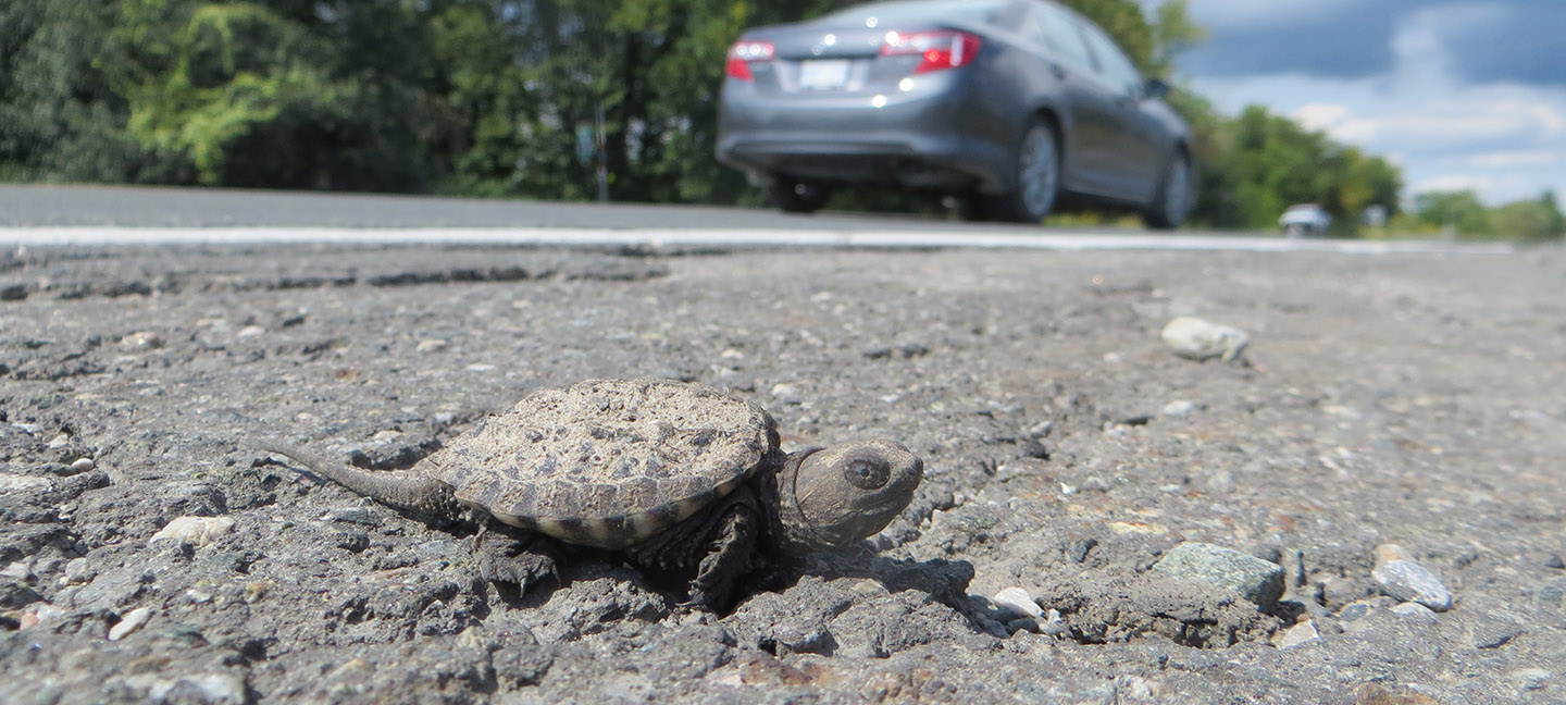 baby snapping turtle by roadside