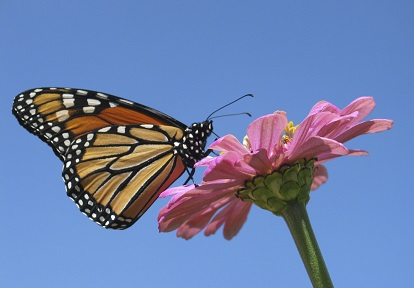 monarch butterfly pollinating flower