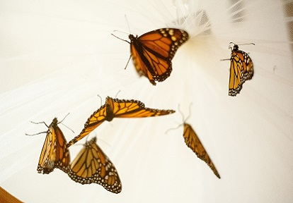 monarch butterflies in collector net