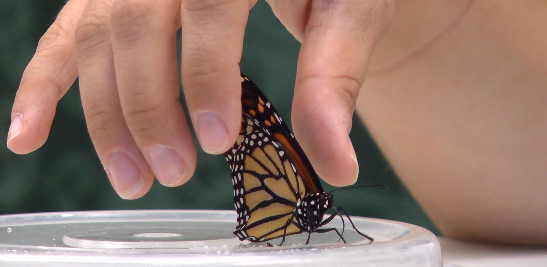fingertips brush wings of Monarch butterfly