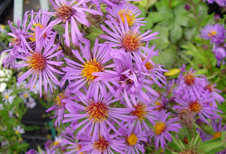 New England Aster native flower