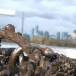 Zebra mussels on the Toronto waterfront