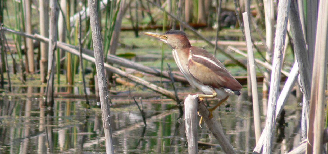 least bittern spotted at Tommy Thompson Park