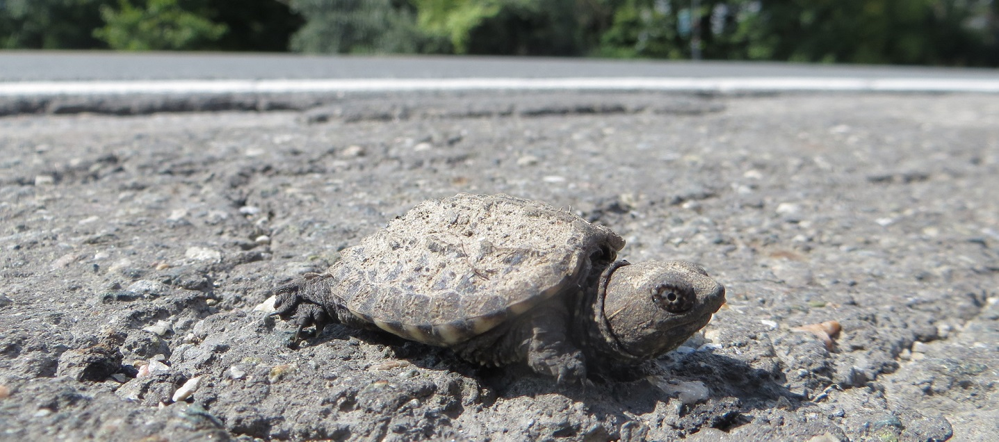 snapping turtle on the side of Heart Lake Road