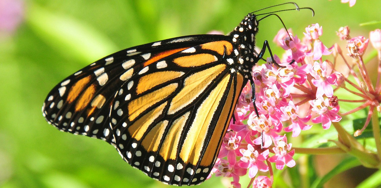 monarch butterfly pollinates milkweed plant