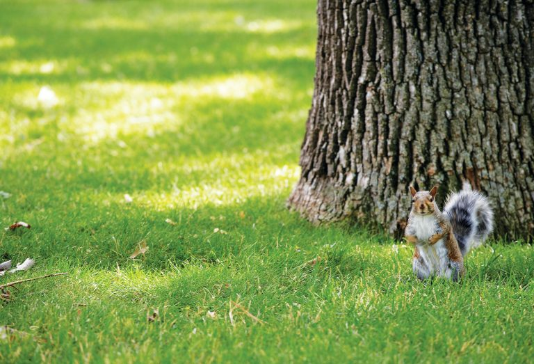 Squirrel on the lawn