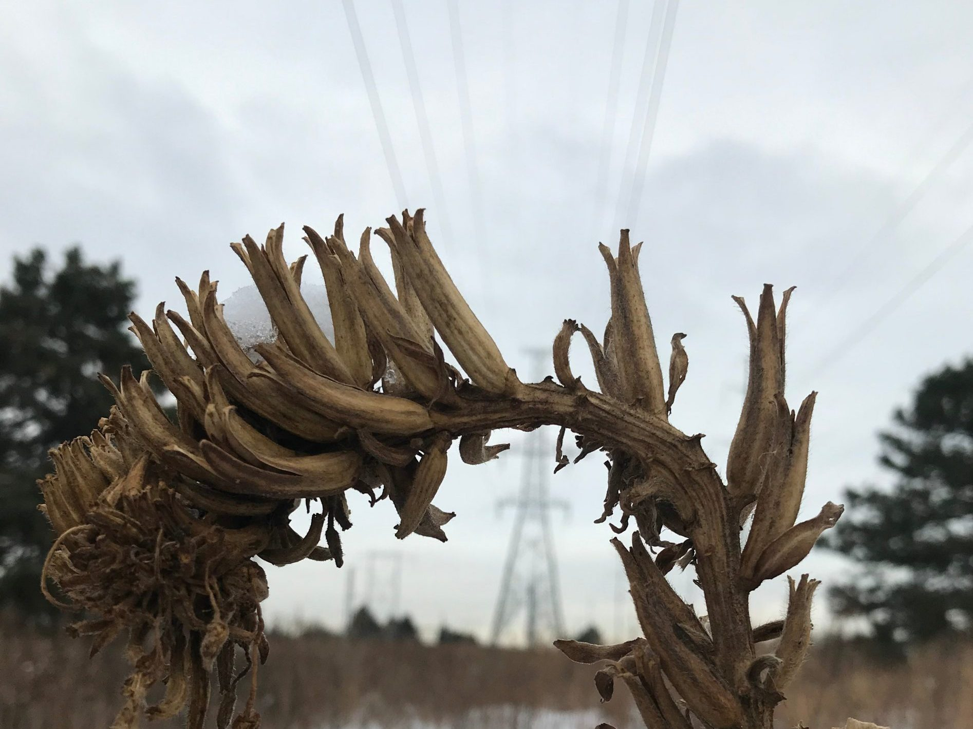 Dried flower in winter at The Meadoway with hydro lines in background